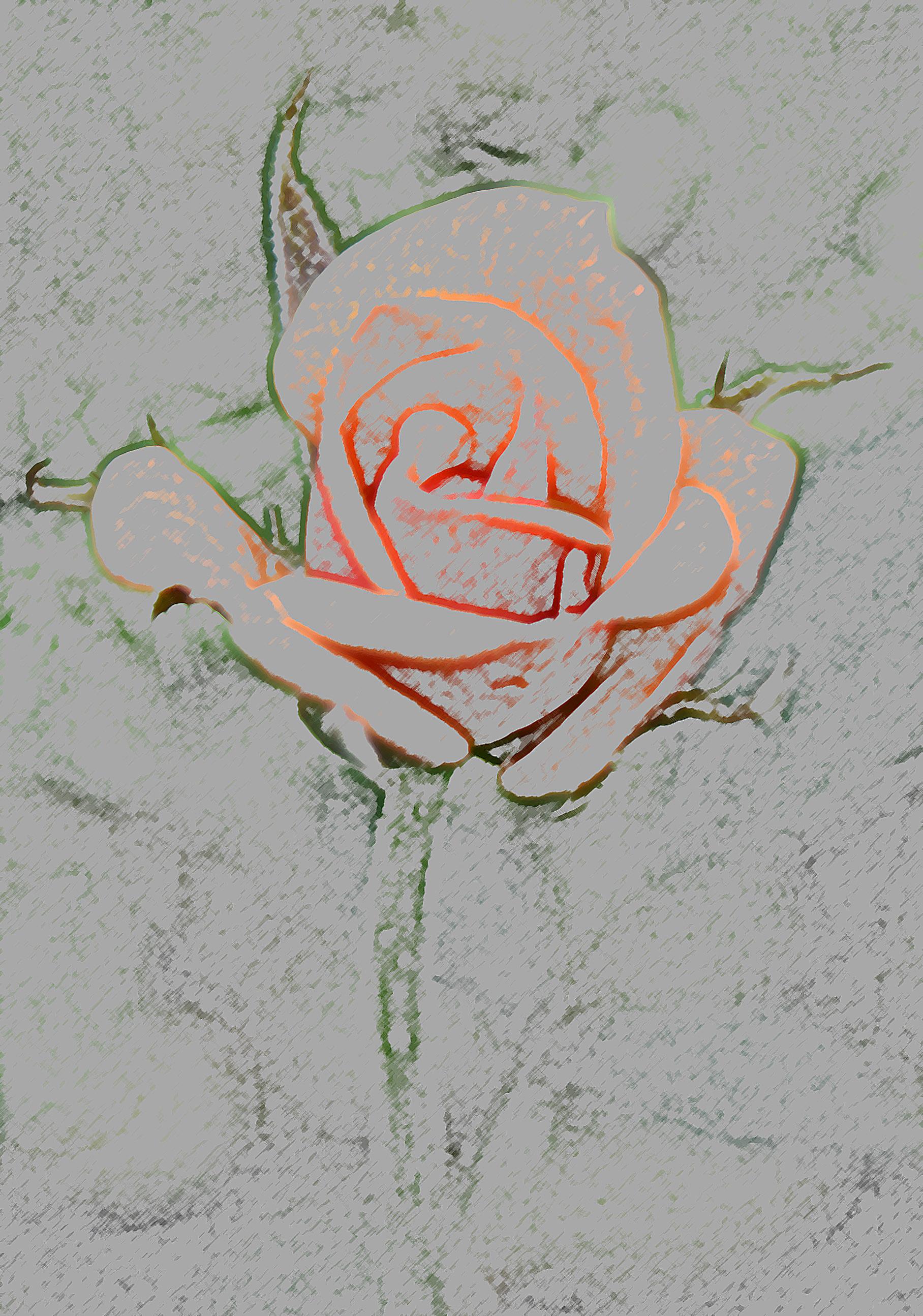 Rose Buntstiftschraffur